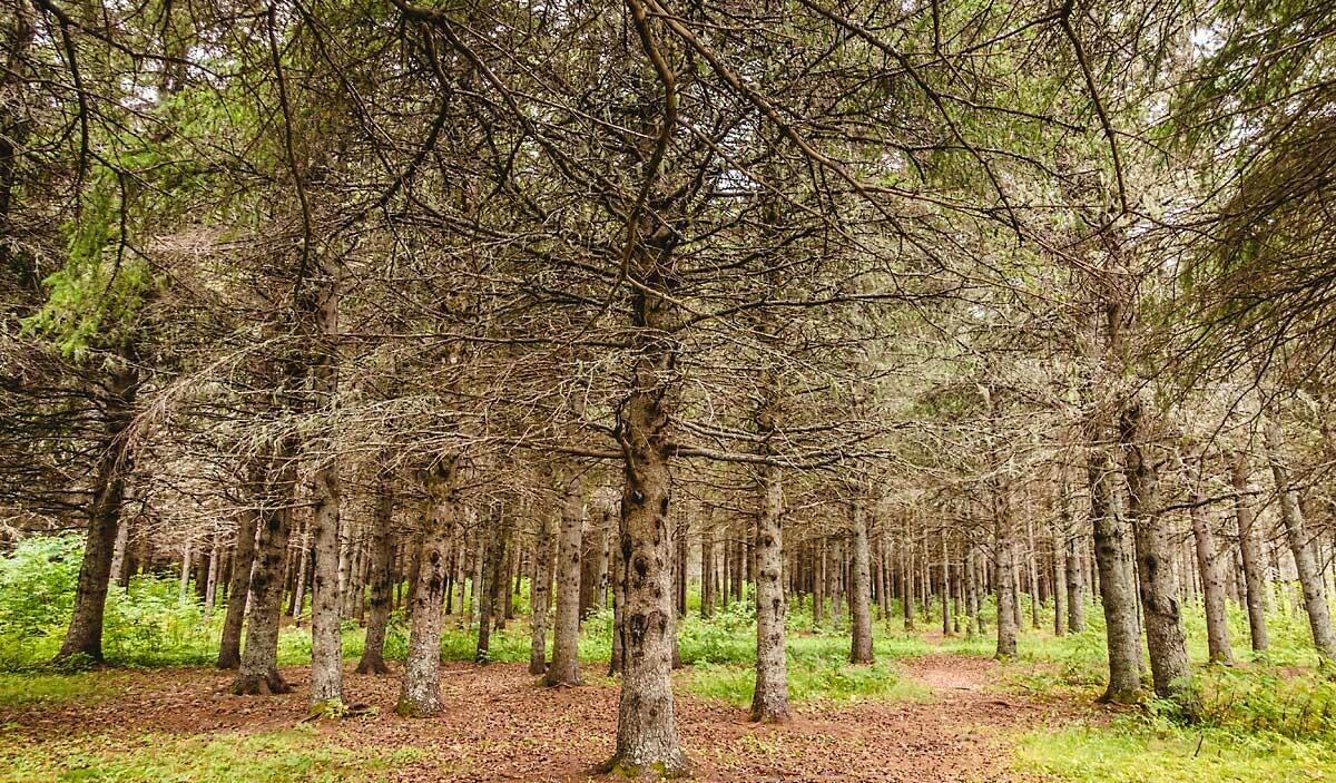 Die stillen Bäume 1